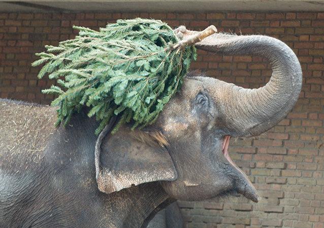 柏林动物园动物享用圣诞树大餐