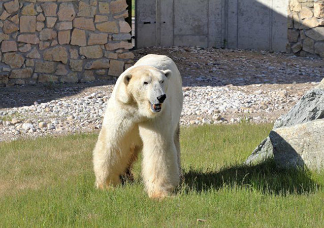 莫斯科动物园赠送给爱沙尼亚的北极熊被安乐死