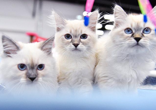 在俄罗斯,西伯利亚猫很流行