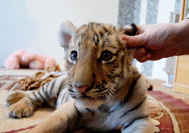 俄国家狩猎监督局抓到一只闯到滨海边疆区村庄的幼虎