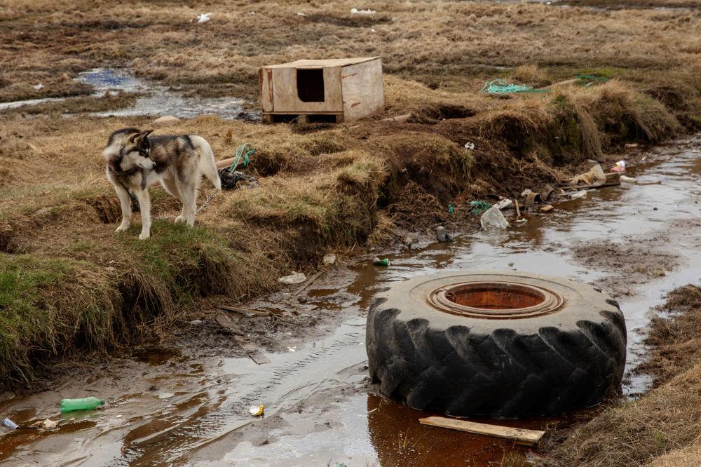 狗在自己的狗舍旁,塔西拉克镇,格陵兰岛