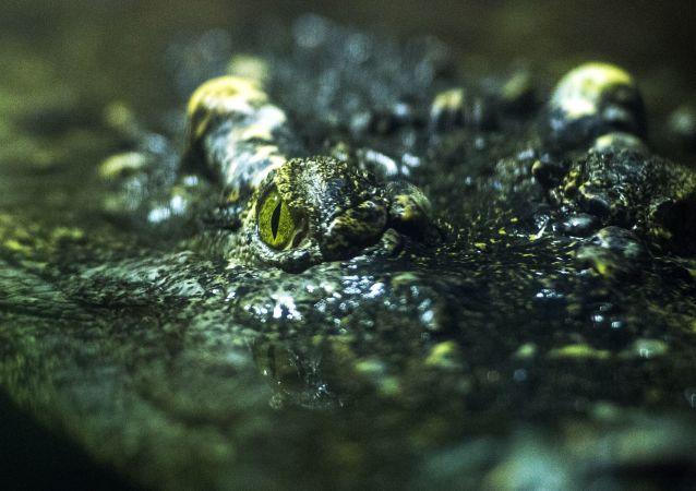 美国短吻鳄被冰封