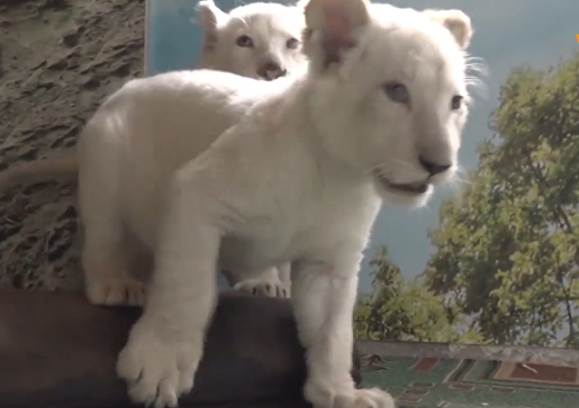 两只白狮运抵符拉迪沃斯托克