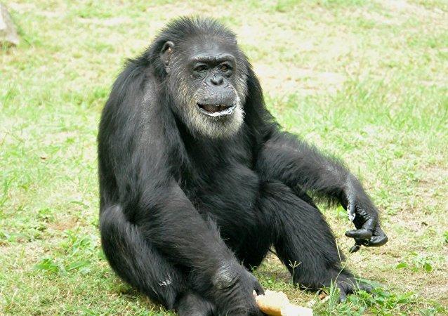 黑猩猩(资料图片)