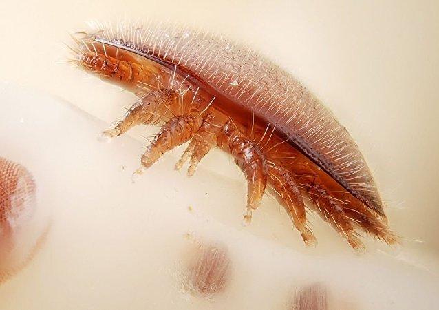 瓦螨(Varroa destructor)