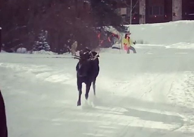 Saved by the Slopes! Territorial Moose Chases US Skiers Down Mountainside