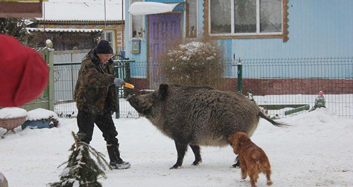 维克多·诺维科夫和母野猪玛莎