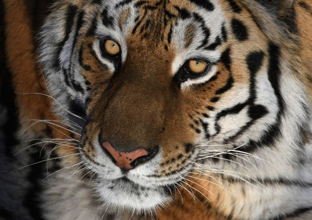 滨海边疆区一只老虎攻击人后逃去森林