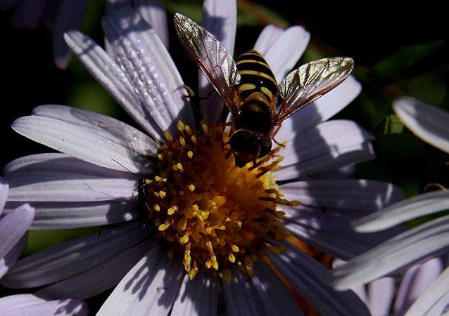 蜜蜂 (俄罗斯滨海边疆区)
