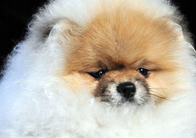 泰国狗主展示宠物毛发染色会发生什么