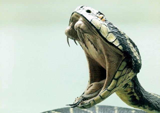印度眼镜蛇