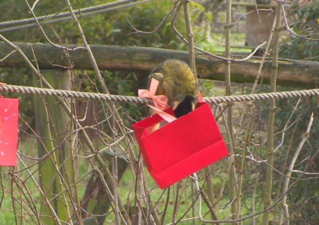 英国动物园松鼠猴获赠情人节礼物