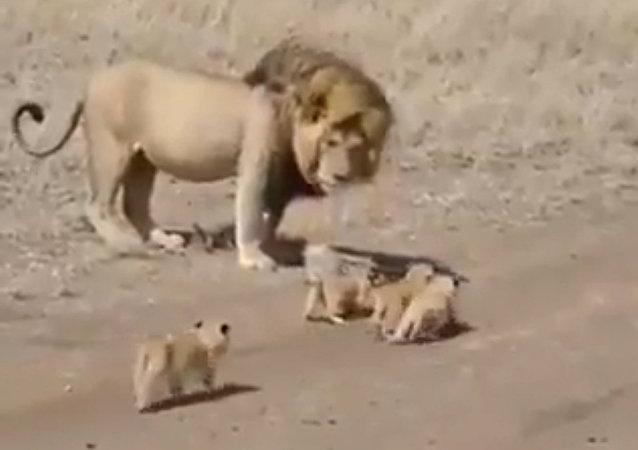 狮子试图撇下幼崽