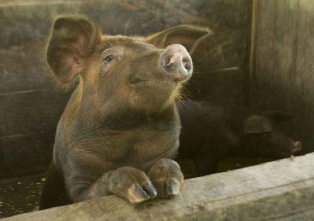 韩国金浦市养猪场发现非洲猪瘟疑似病例