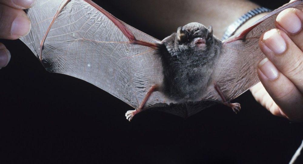 俄科学家将在西伯利亚蝙蝠中寻找冠状病毒