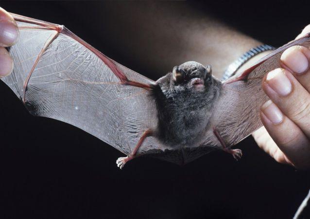 俄沃龙涅什市一女子收养250只蝙蝠