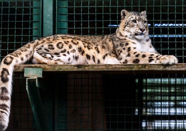 莫斯科动物园珍稀动物繁殖中心的雪豹