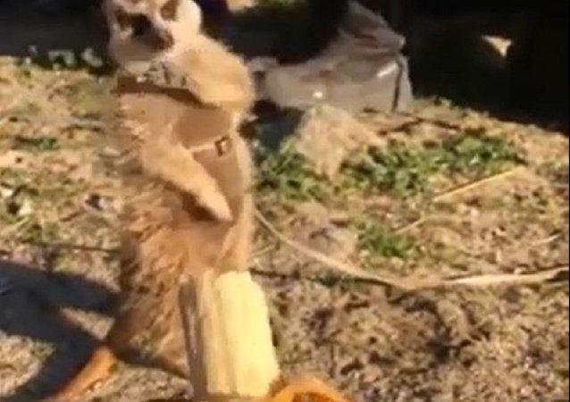 狐獴拒收香蕉