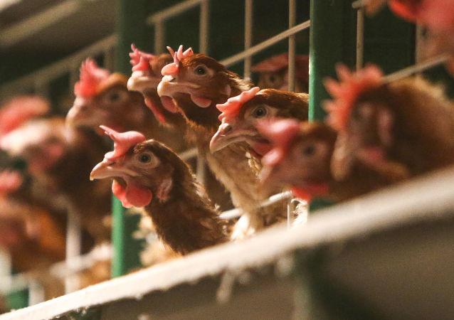在法国一群母鸡联手啄死狐狸
