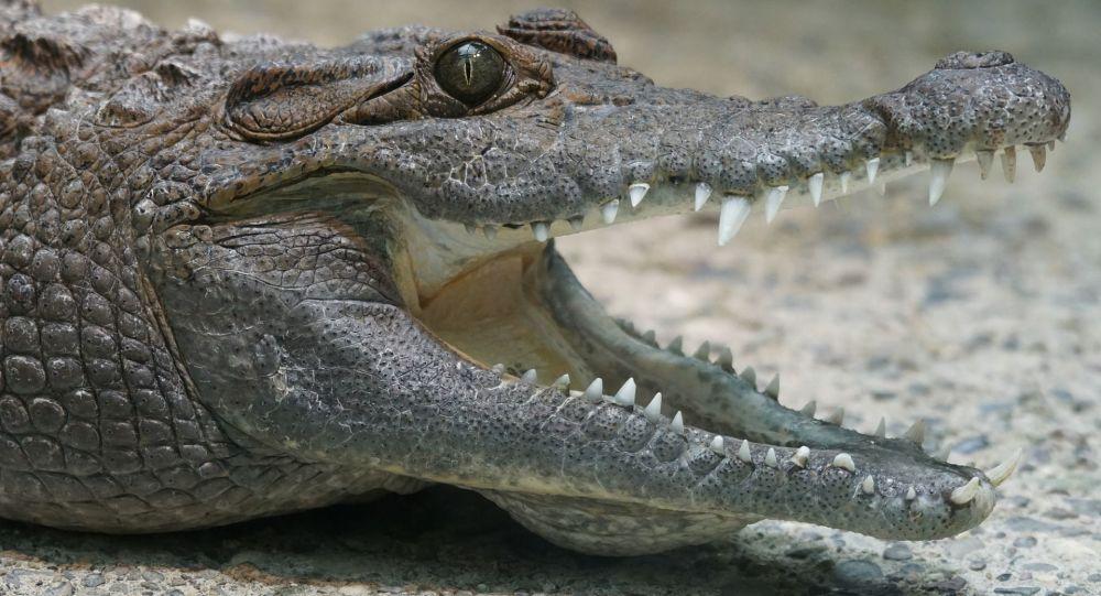 印度尼西亚从鳄鱼胃中取出8岁儿童