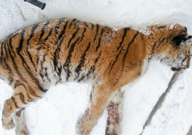 俄哈巴罗夫斯克边疆区村民将一只阿穆尔虎射杀