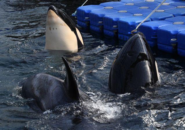 俄捕捞公司:向中方出售俄虎鲸的合同尚未解除
