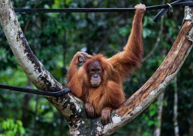 英国专家部分破译猩猩语言