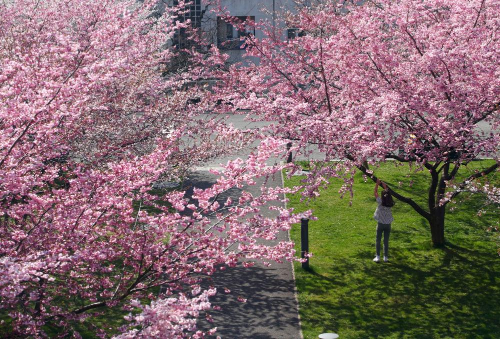 世界各地的樱花竞相绽放