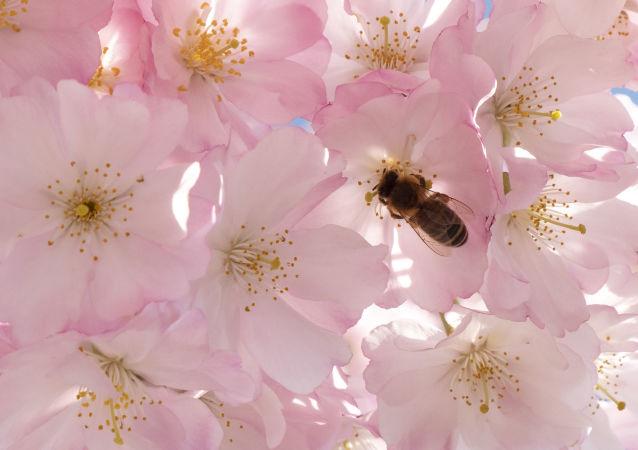 英国人意外将危害当地品种的土耳其蜜蜂带回国