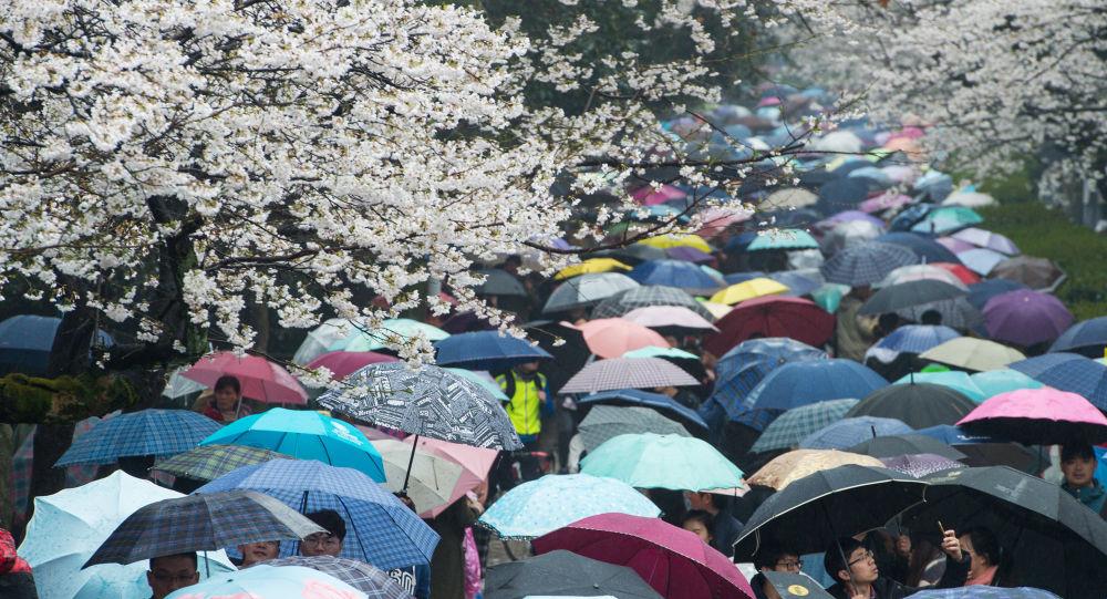 Посетители университета Wuhan во время цветения вишни