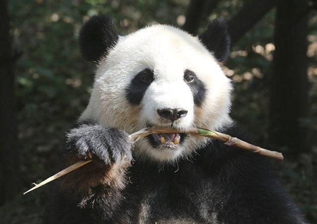 中国开发熊猫脸识别APP