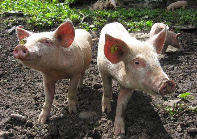俄中代表讨论防控非洲猪瘟问题