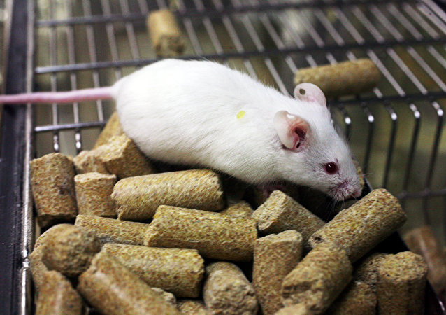 俄科学家培育新冠病毒易感老鼠用于研发疫苗和药物