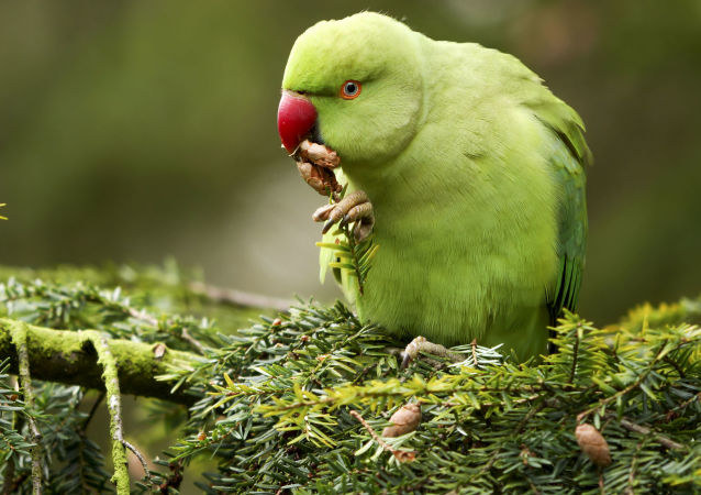 Ожереловый попугай в брюссельском парке