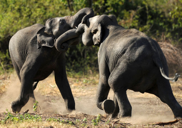 印度大象(资料图片)