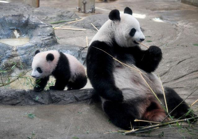 """熊猫幼仔在""""幼仔""""运动场被绳缠住死于四川"""