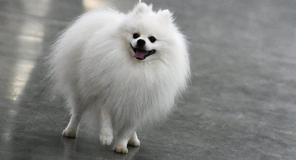 俄国家杜马正在研究强制性犬只登记草案