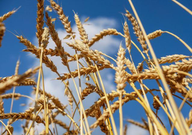 中国统计局:中国夏粮总产量14281万吨 产量创历史新高