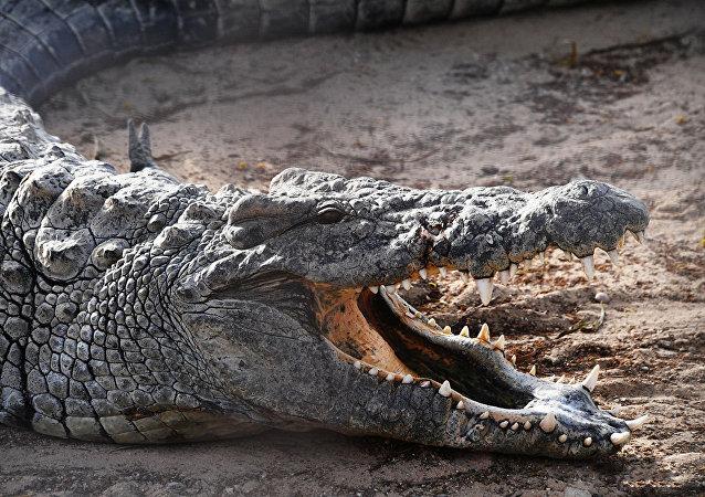 鳄鱼(资料图片)