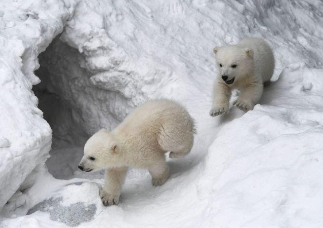西伯利亚小北极熊人造雪玩嗨了(视频)