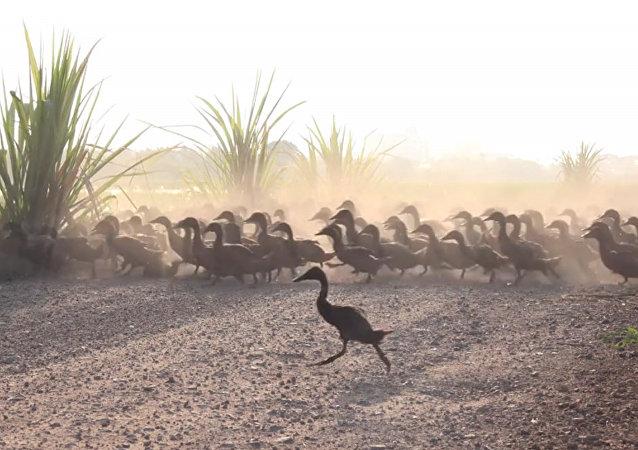 3000只鸭子同时过马路