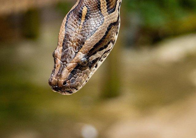 澳大利亚一条巨蟒将一只鳄鱼囫囵吞下
