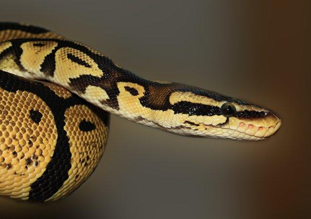 剑桥街头出现三米长蟒蛇