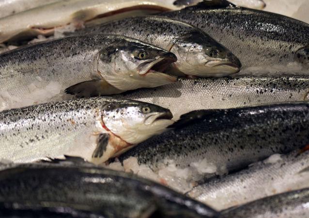挪威北部海藻开花导致约1万吨鲑鱼死亡
