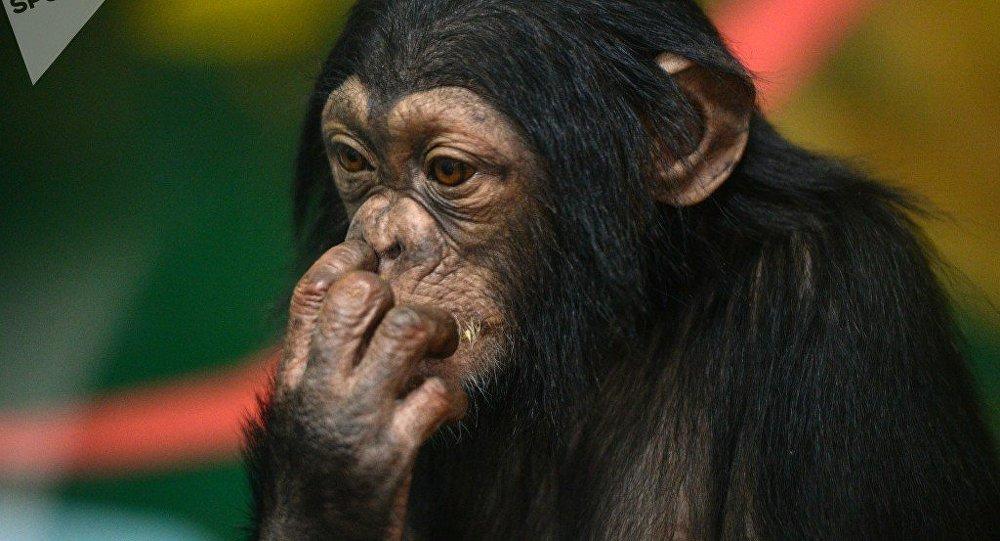 黑猩猩吃龟肉像吃坚果一样 (视频)