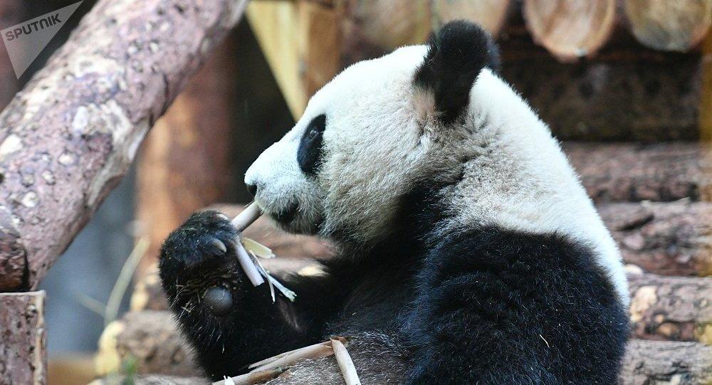 莫斯科动物园的熊猫馆(资料图片)