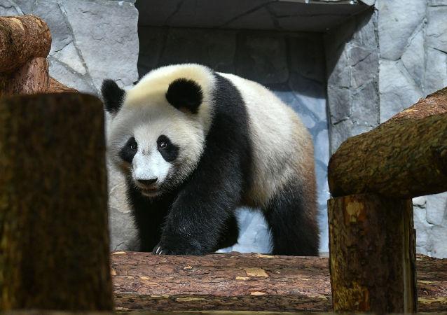 莫斯科动物园将放映有关中国大熊猫的电影