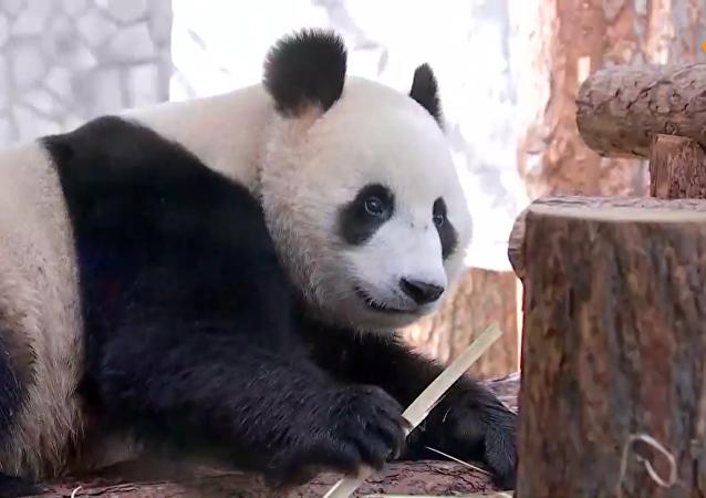 普京和习近平现身莫斯科动物园熊猫馆