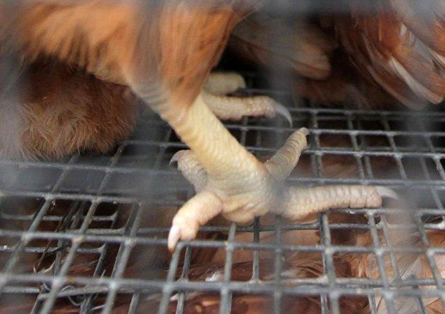 中国东莞疾控中心专家在自俄进口的冻鸡爪外包装上发现新冠病毒