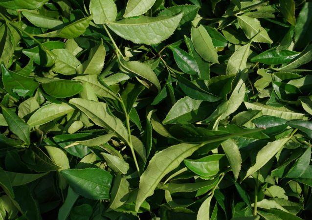 中方对从克拉斯诺达尔边疆区进口茶叶感兴趣